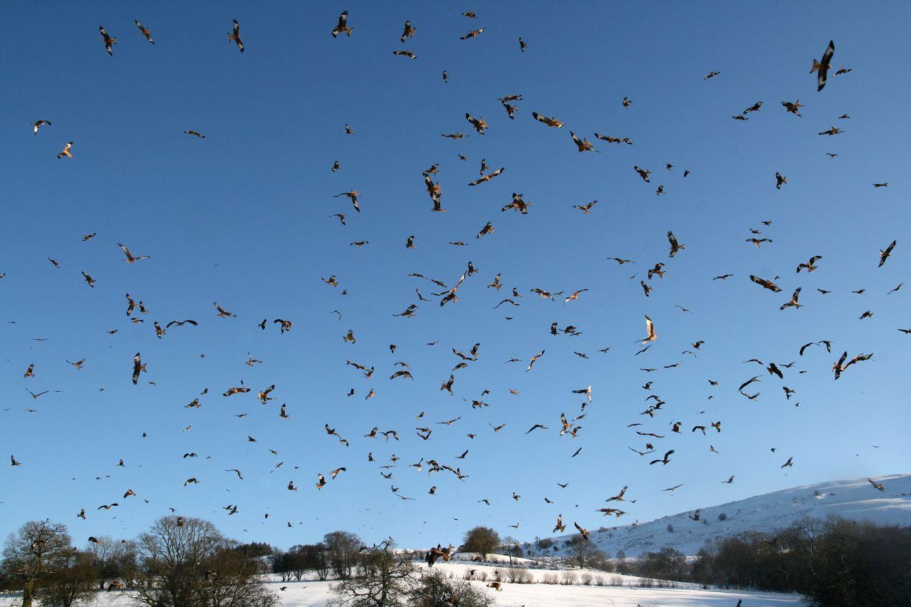 Loads of kites at gigrin