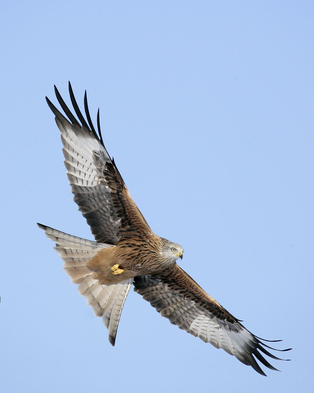 Red Kite Gigrin10