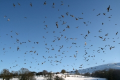 Loads of kites at gigrin
